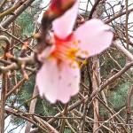 Almond blossom Provence